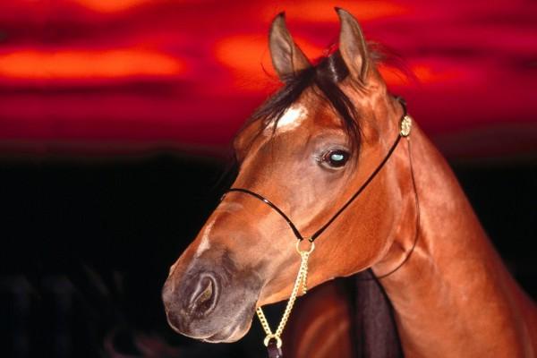 La cabeza de un caballo marrón