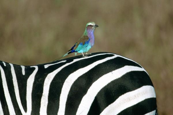 Un pájaro posado sobre una cebra