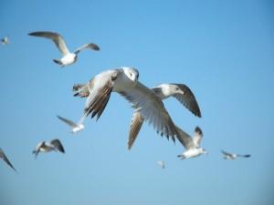 Gaviotas volando