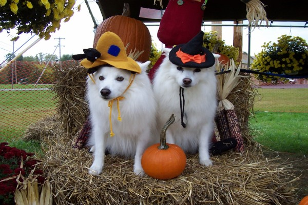 Dos divertidos perros listos para la noche de Halloween