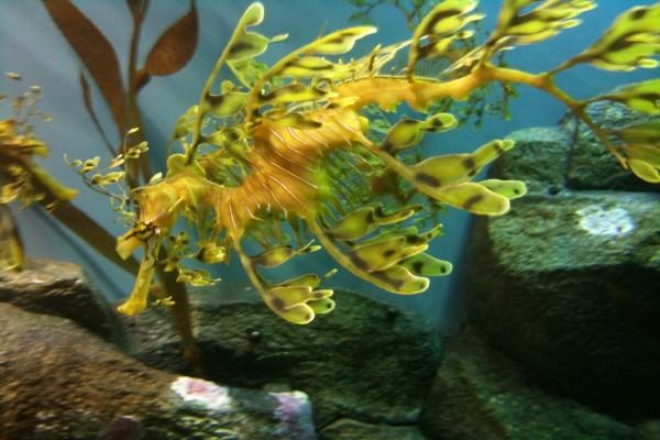 Un dragón de mar amarillo