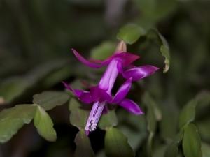Postal: Cactus de Navidad con una bonita flor