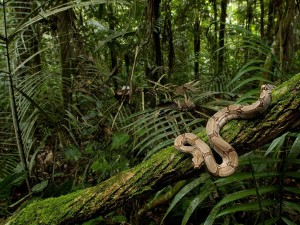 Una boa constrictor sobre un tronco en la selva