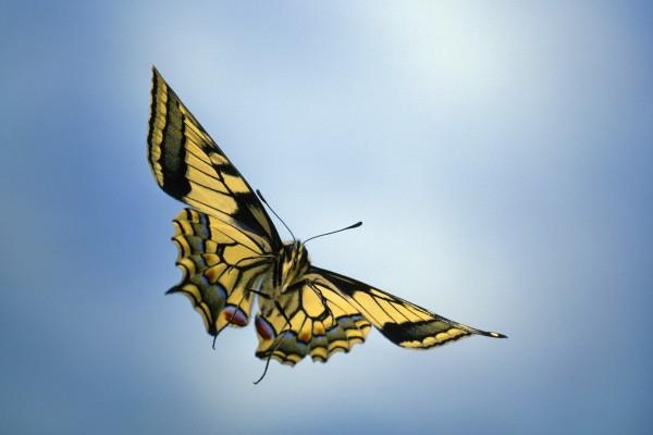 Las alas desplegadas de una mariposa