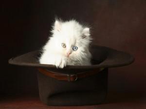 Postal: Un gato con ojos de distinto color dentro de un sombrero
