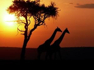 Postal: Dos jirafas caminando al atardecer