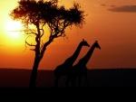 Dos jirafas caminando al atardecer