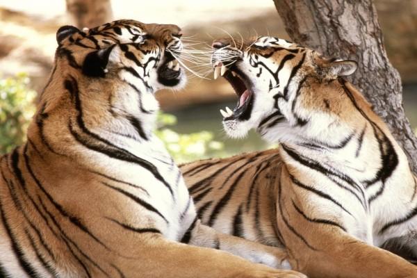 Dos tigres mostrándose los colmillos