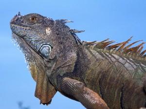 Postal: Una iguana