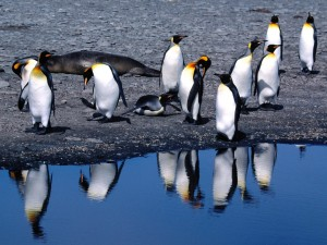 Postal: Pingüinos rey junto a la orilla