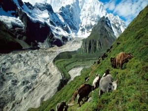 Vacas en la ladera de la montaña