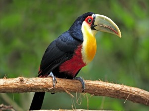 Postal: Tucán bicolor posado en una rama