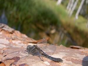 Libélula posada en una roca