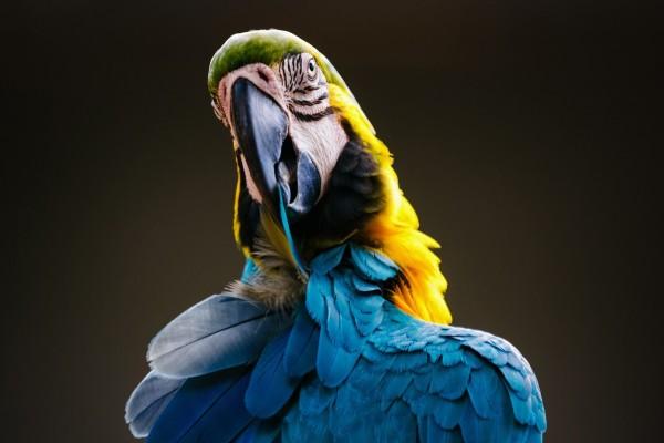 Guacamayo con plumas azules y amarillas