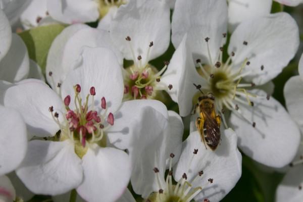 Abeja en una flor de pera
