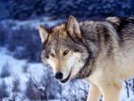 Un gran lobo caminando en la nieve