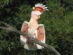 Cacatua con bellas plumas en la cabeza