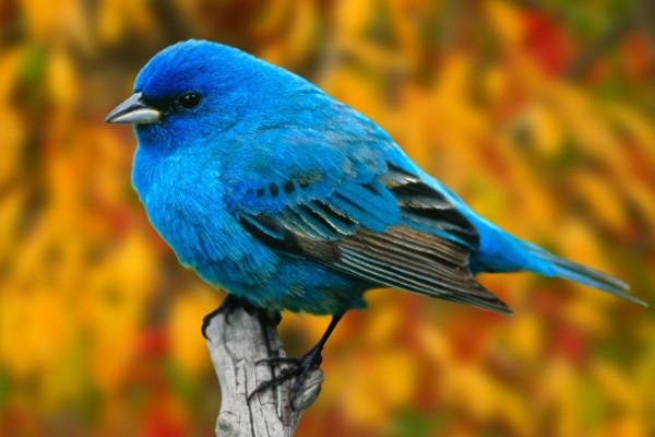 Un pájaro de color añil