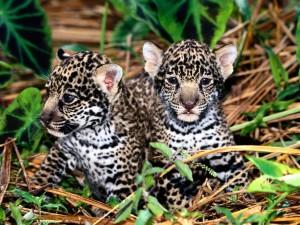Dos cachorros de jaguar entre las plantas