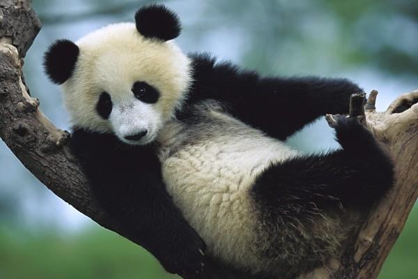 Un oso panda acomodado en un árbol
