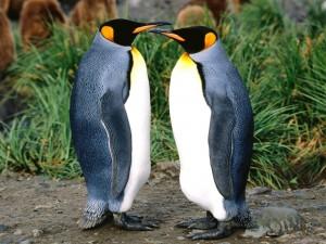 Postal: Dos pingüinos rey cara a cara