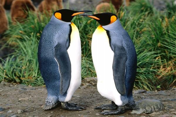 Dos pingüinos rey cara a cara