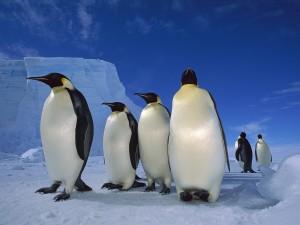 Postal: Pingüinos emperador en la Antártida