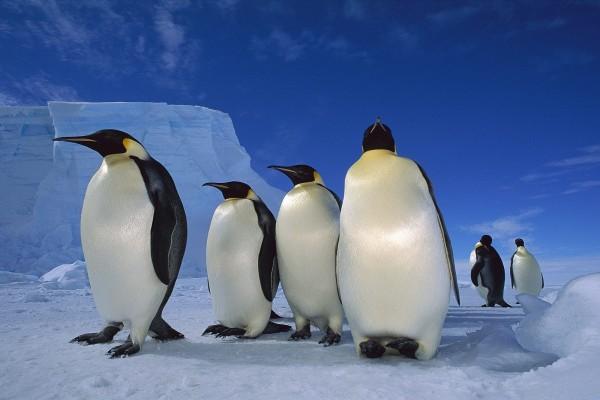 Pingüinos emperador en la Antártida