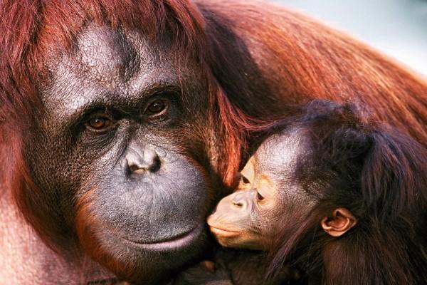 Orangután bebe de Sumatra con su madre