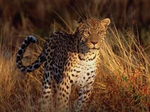 Un leopardo iluminado por el sol del atardecer
