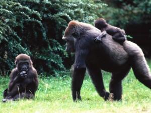 Postal: Familia de gorilas
