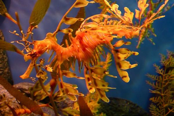 Un dragón de mar naranja