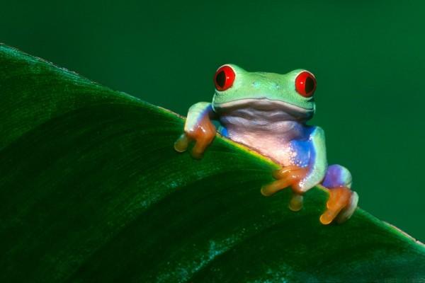 Una rana de ojos rojos