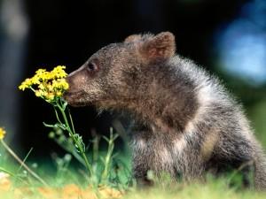 Un osezno oliendo las flores