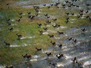 Postal: Impalas corriendo por la sabana