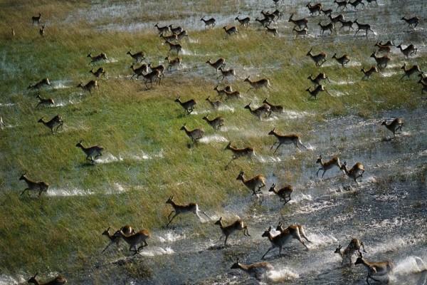 Impalas corriendo por la sabana
