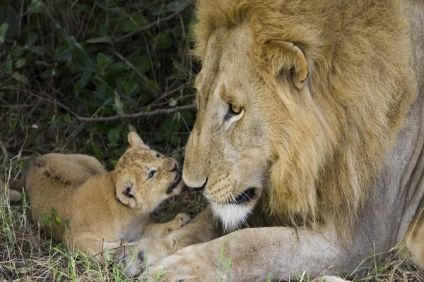 Un gran león admirando a su cachorro