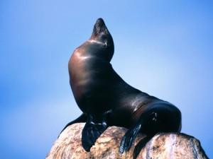 Postal: Un león marino disfrutando del sol sobre una roca