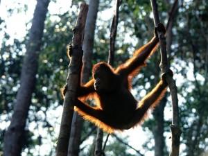 Postal: Un orangután entre dos árboles
