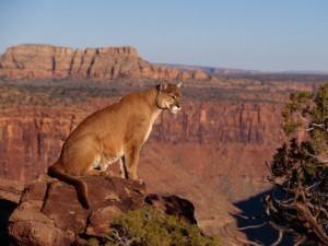 Postal: Puma en el Gran Cañón