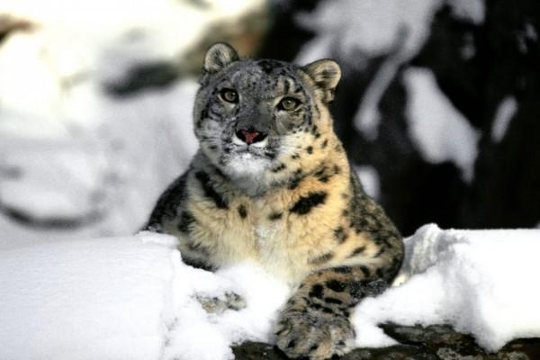 Leopardo de las nieves relajado