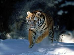 Gran tigre siberiano corriendo en la nieve