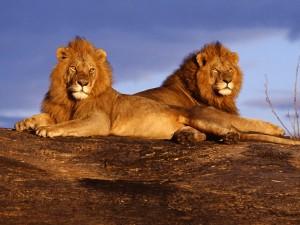 Dos leones africanos tumbados sobre una gran roca