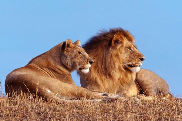 León y leona sobre la hierba seca