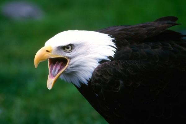 Un águila calva chillando