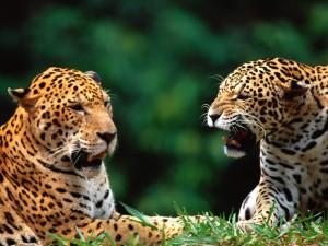 Dos jaguares sobre la hierba