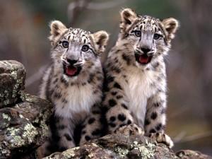 Dos simpáticos cachorros de leopardo de las nieves