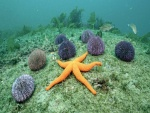Una estrella de mar y erizos en el fondo marino