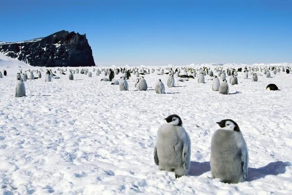 Jóvenes pingüinos emperador en la Antártida