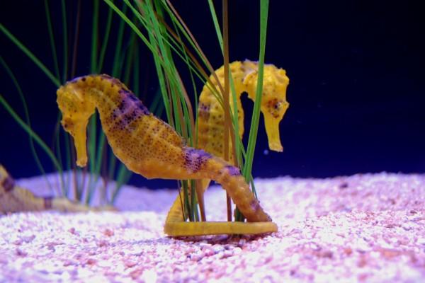 Dos caballitos de mar unidos junto a una planta